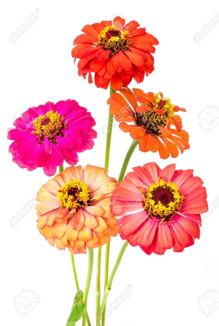 Group Of Colorful Zinnia Flowers On White Background Stock Photo 874x1300