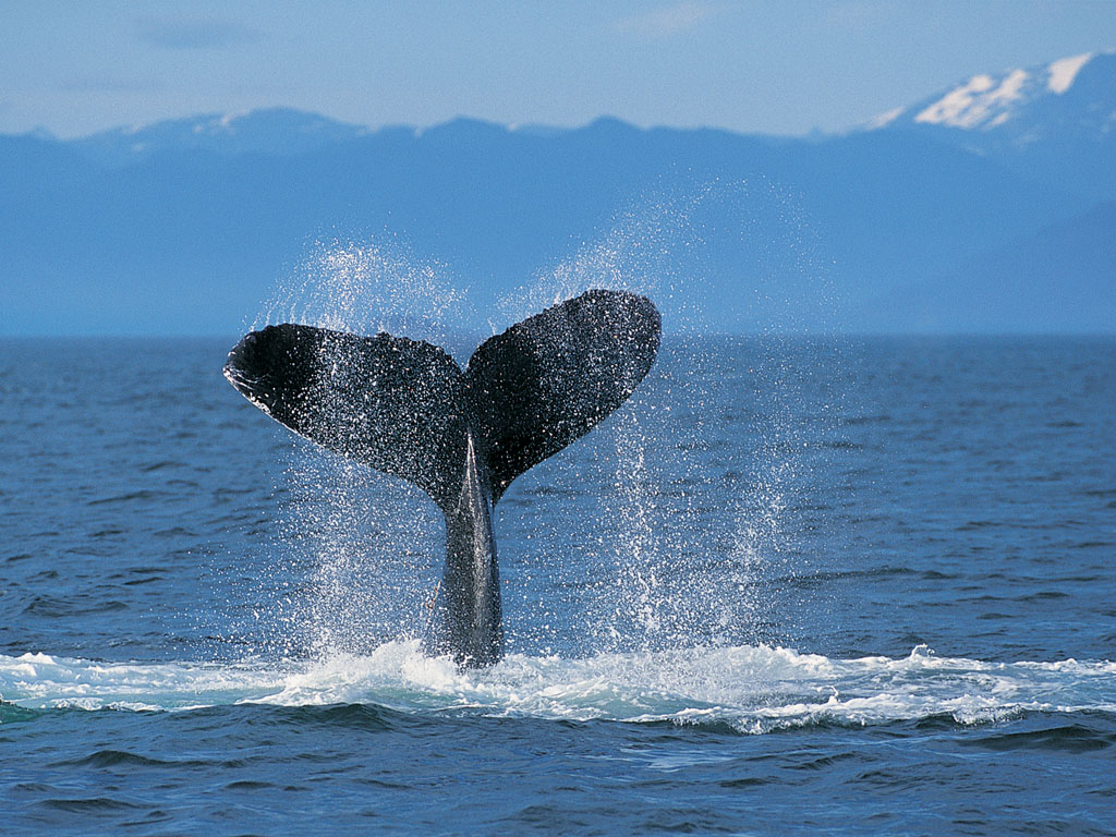 Humpback Whale   Animals Wallpaper 26859660 1024x768