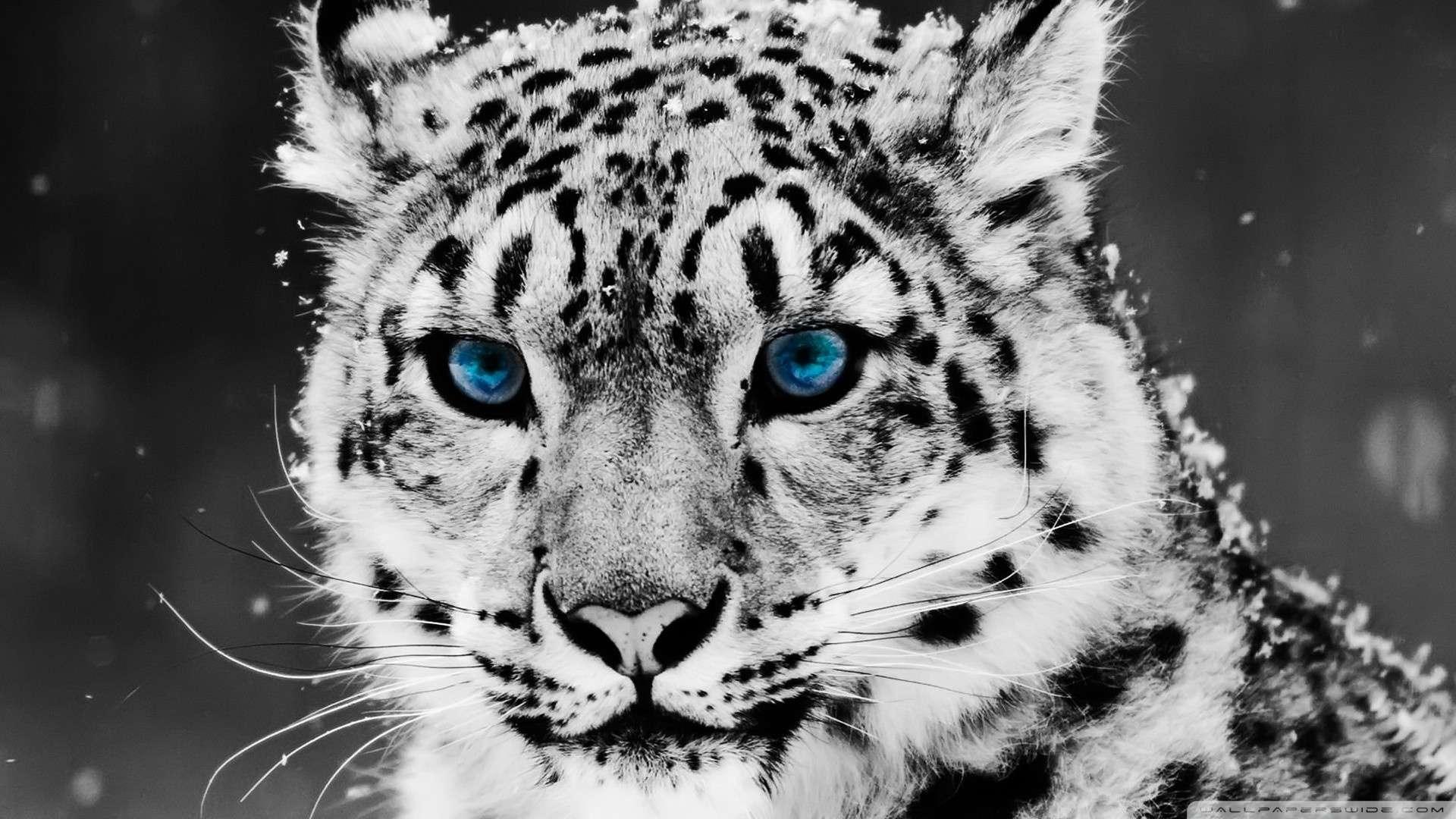 Wallpaper Snow Leopard Black And White Portrait Wallpaper 1080p HD 1920x1080