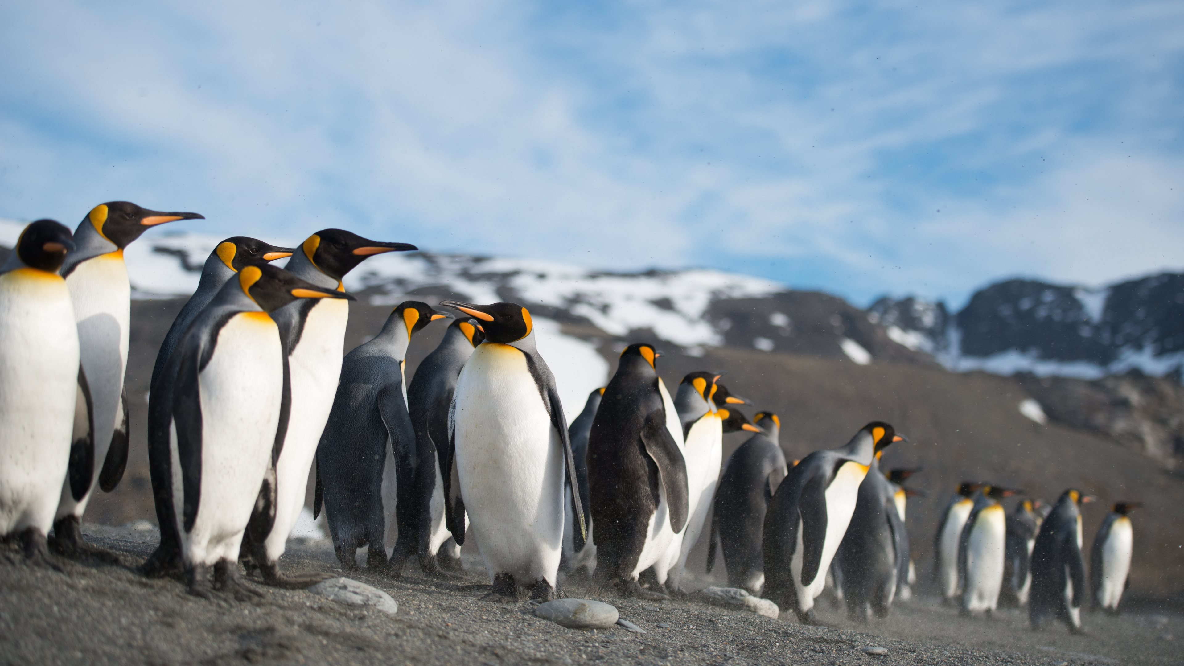 248 Penguin HD Wallpapers Background Images 3840x2160