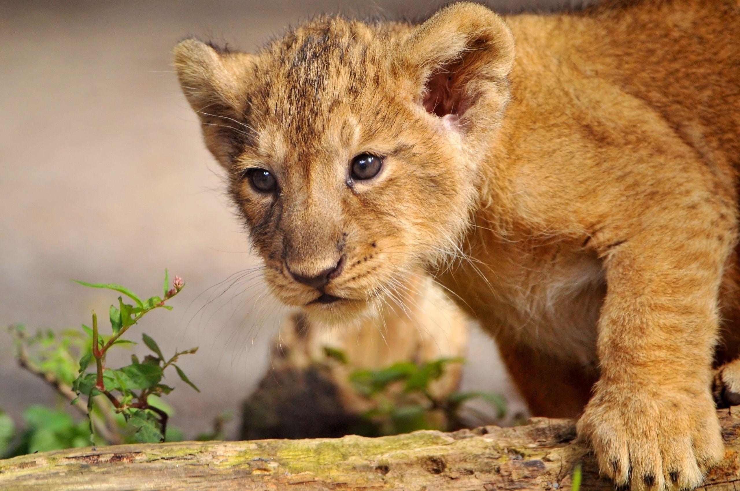 Wallpaper lion cub paw muzzle wild desktop wallpaper 2560x1700