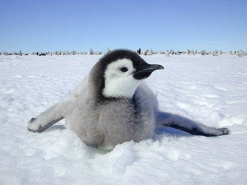 free Emperor Penguin wallpaper wallpapers download World Penguin 1024x768