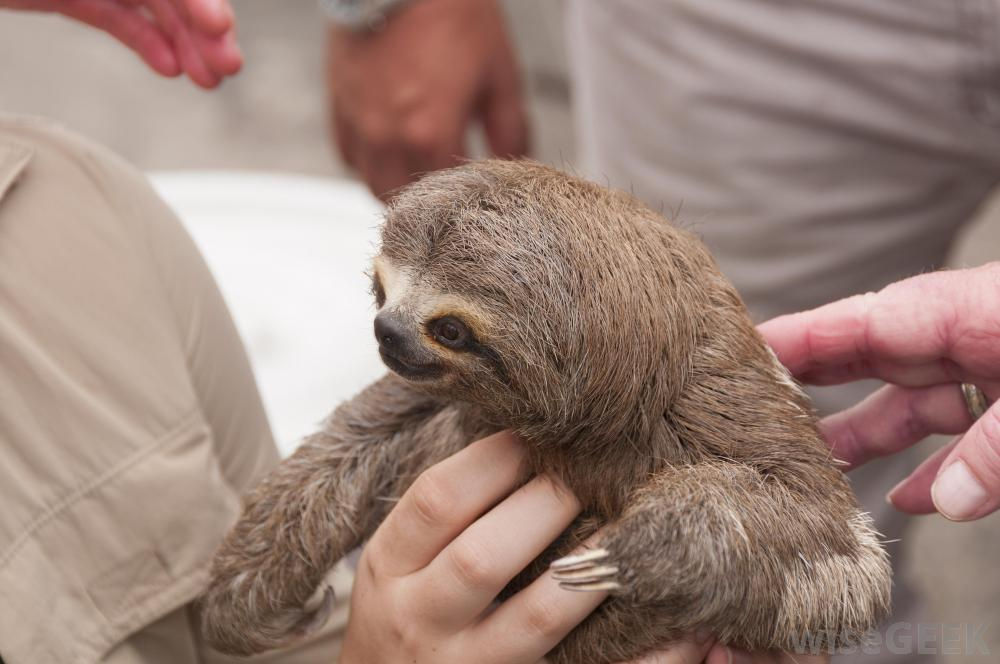 Sloths In Human Clothes Part of sloth ownership 1000x664