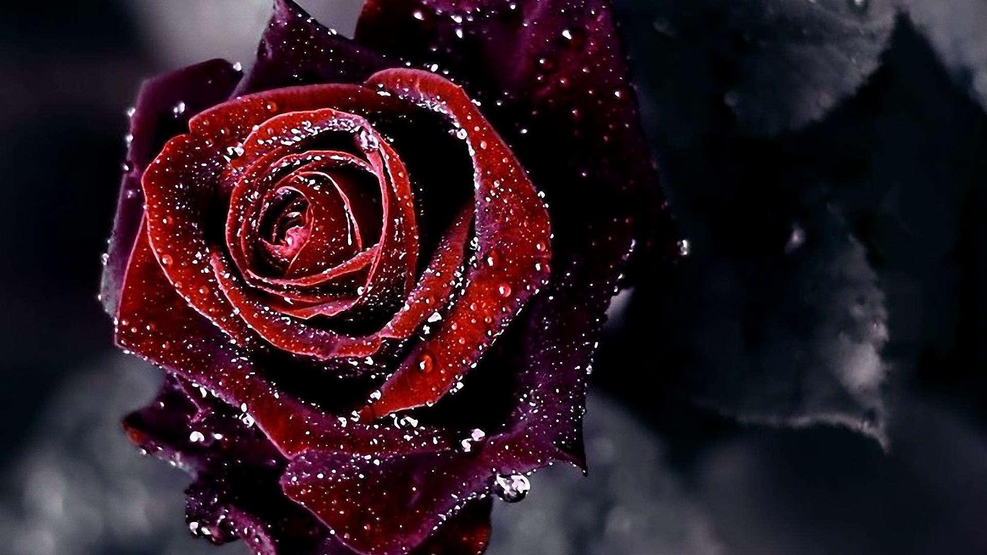 Red Rose Flower Background HD Wallpaper of Flower   hdwallpaper2013 1920x1080