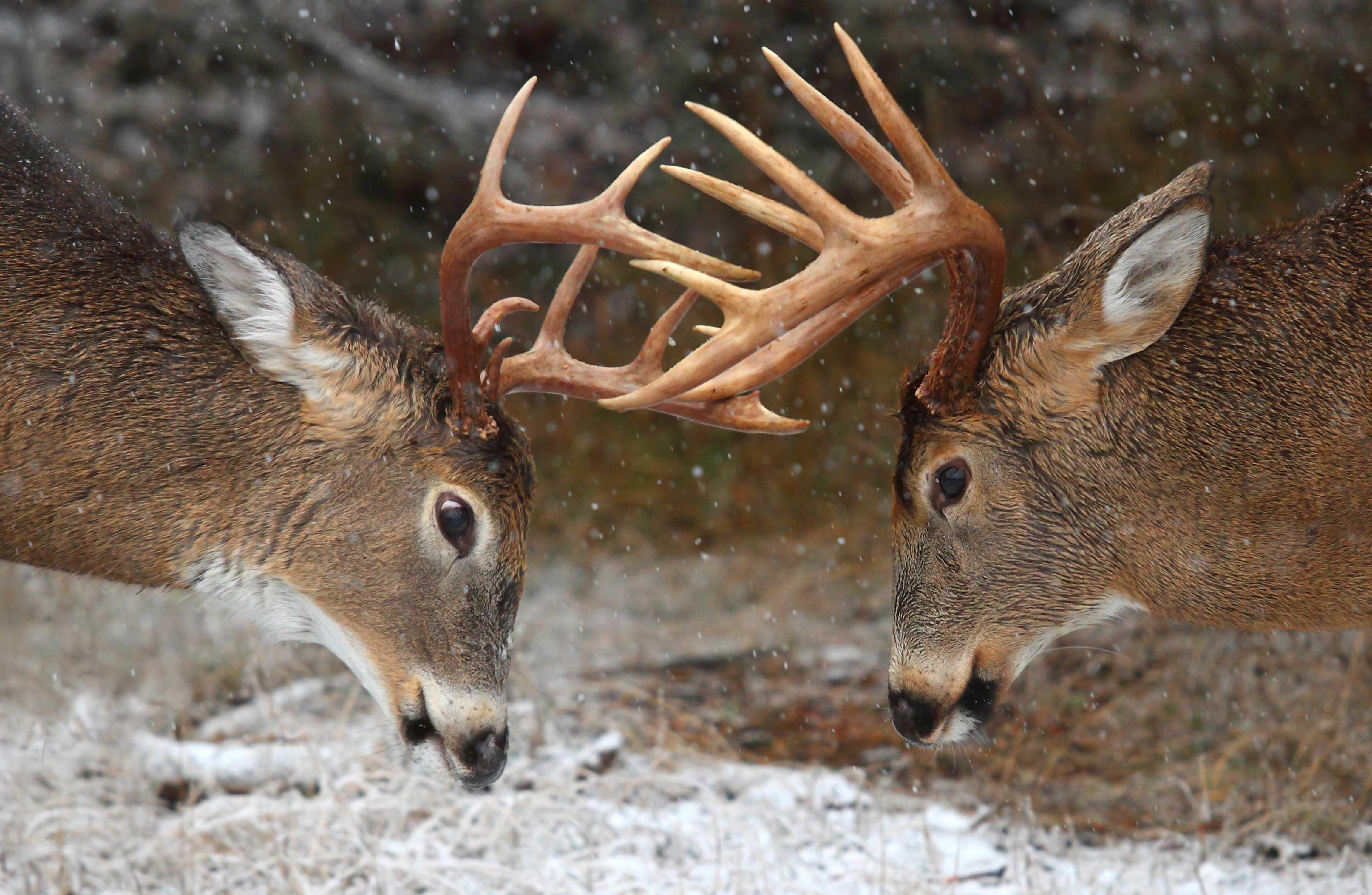 Clash of the Titans Deer Rut   Ontario Canada 4600x3000