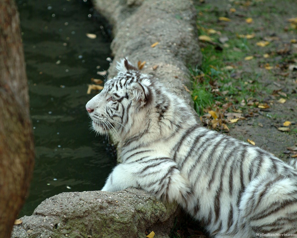 White Tiger Desktop Hd Wallpapers Pictures 9 White Tiger Desktop Hd 1024x819
