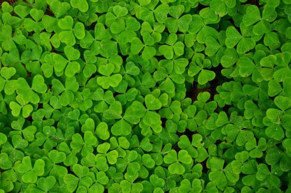 ... shamrock clover trefoil – Plants Wallpapers – Desktop Wallpapers