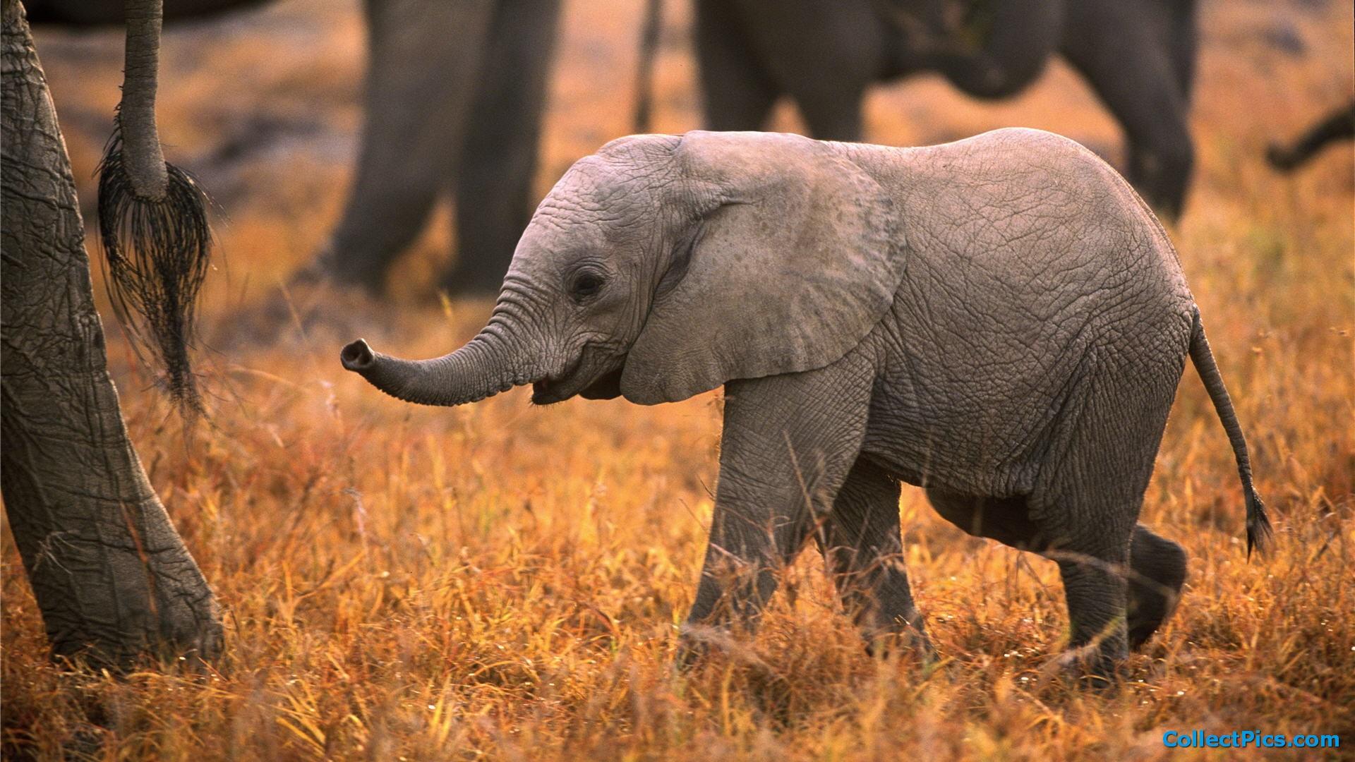 Baby elephant wallpaper cartoon wallpapersafari - Baby elephant wallpaper ...