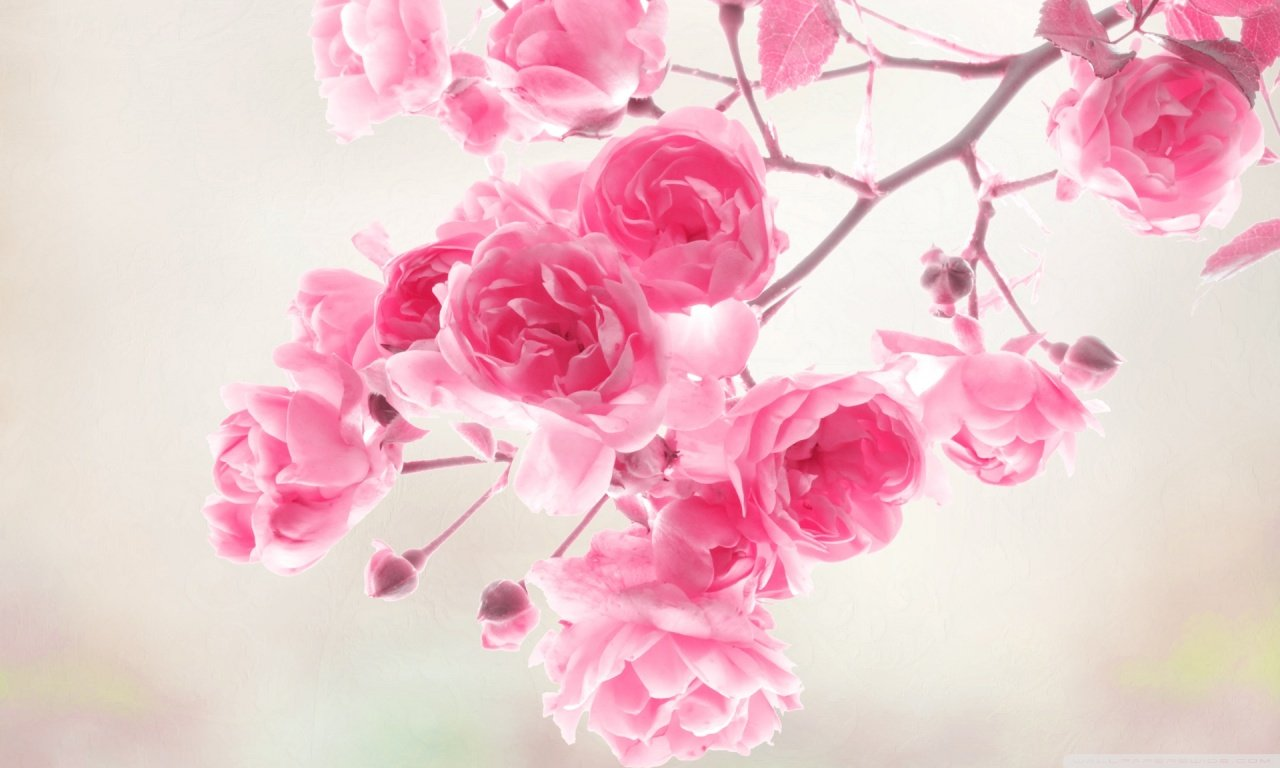 Pretty Pink Roses Wallpaper   Pink Color Photo 34590770 1280x768