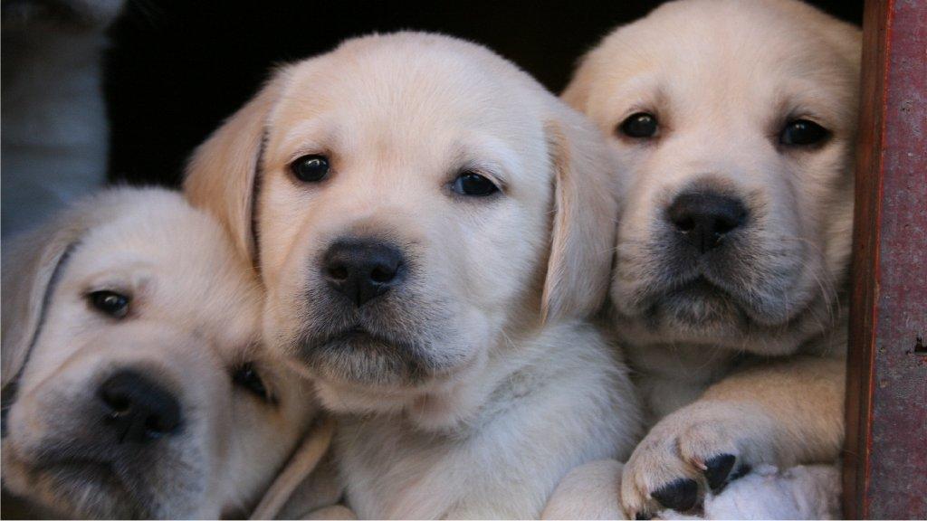 922026 Yellow Labrador Retriever Puppies 922068 Yellow Labrador 1024x576