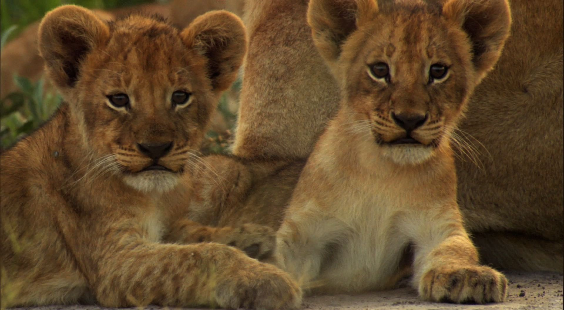 Cute Lion Cubs wallpaper   Click picture for high resolution HD 1920x1056