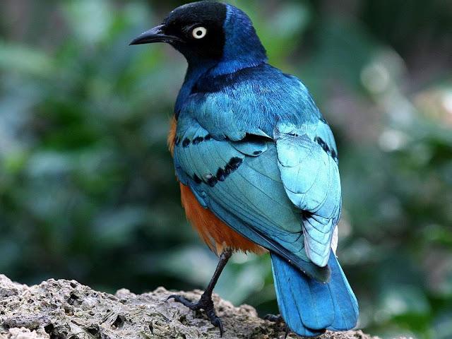wallpaper blue bird hd wallpaper colourful parrot birds wallpaper 640x480