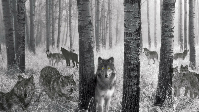 birch black and white Wolf Spirits Animals Dogs HD Desktop 800x450