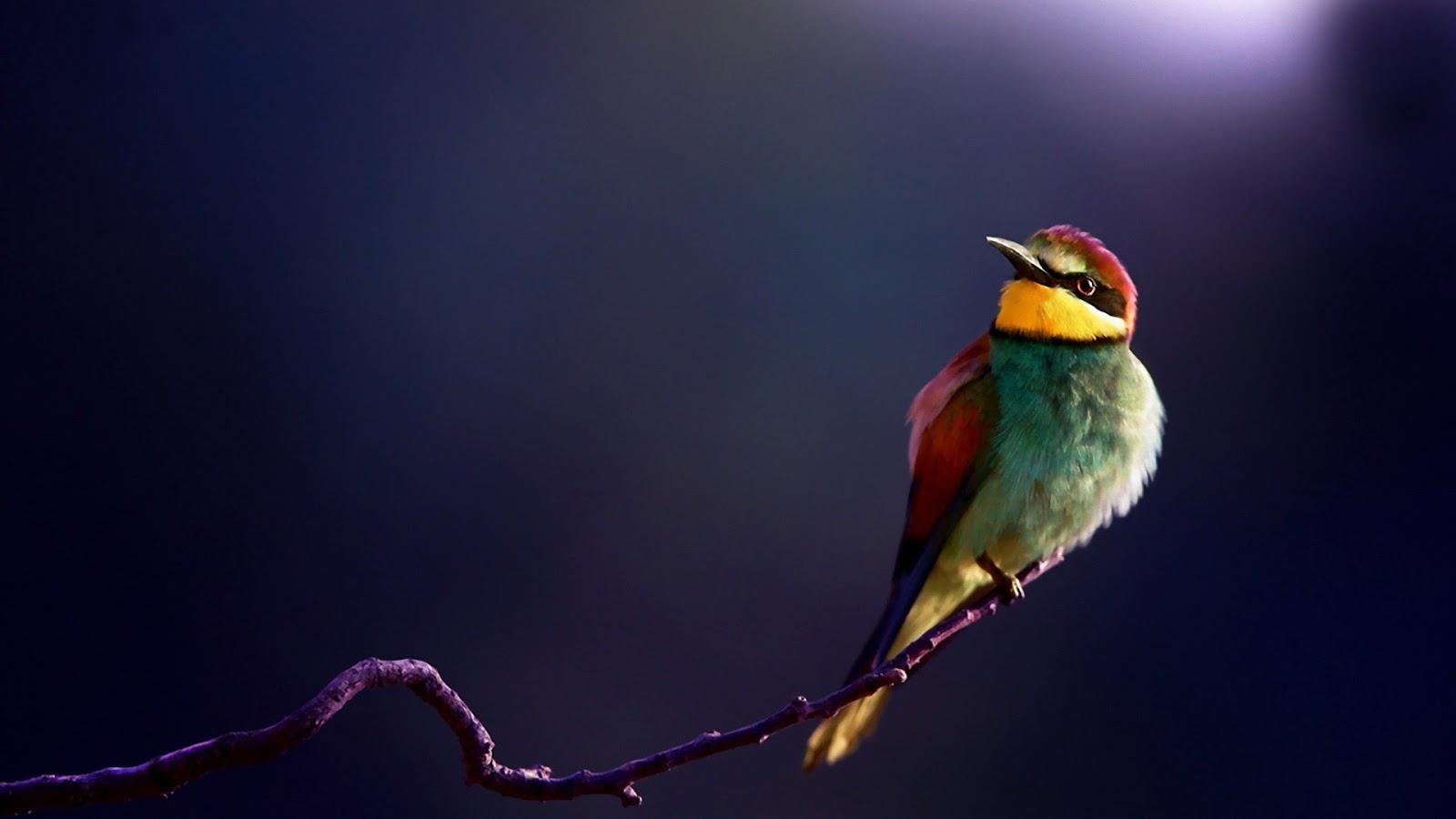 colorful hd birds wallpapersbirdscute birds hd 1600x900