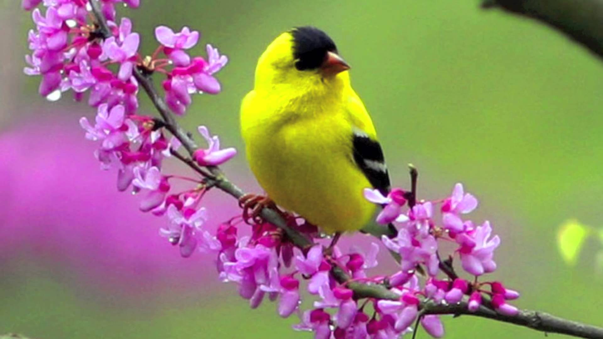 birds and flowers wallpaper which is under the birds wallpapers 1920x1080