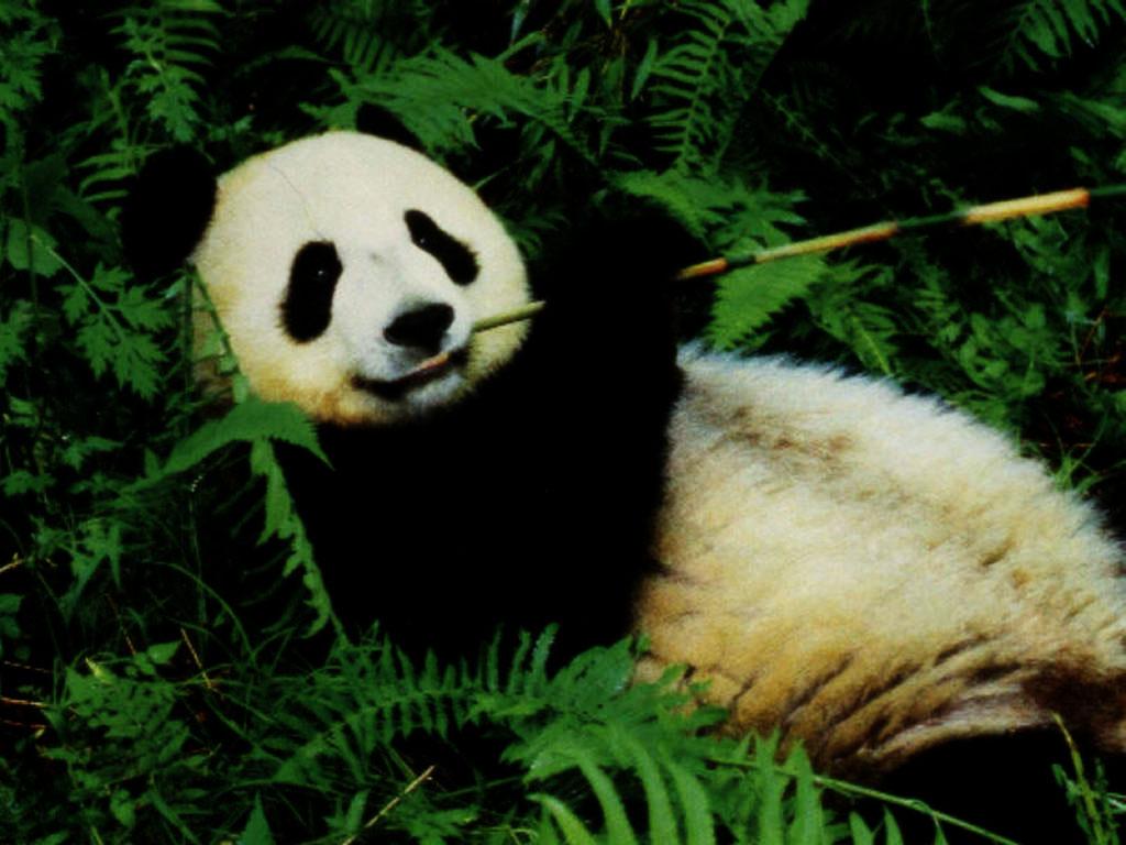 panda hd wallpapers black horror bear wallpaper black beautiful panda 1024x768