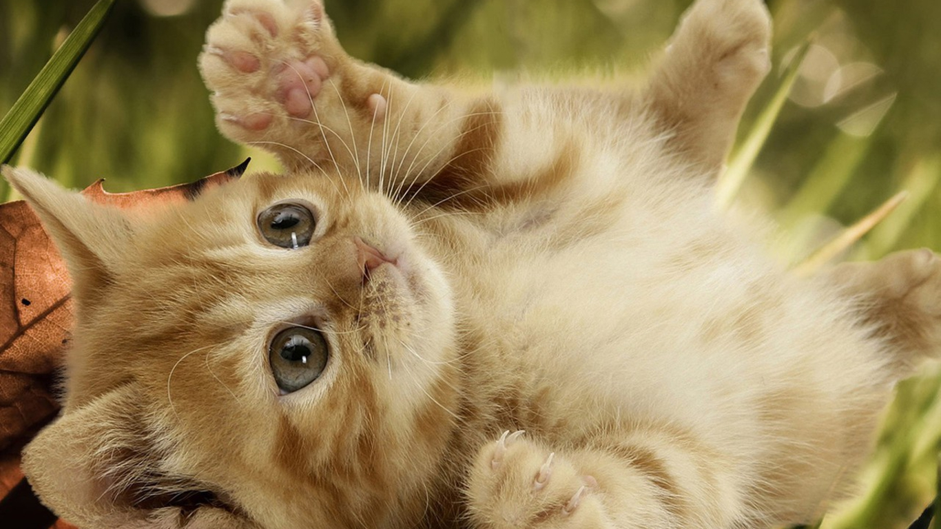 Baby Cats Cute Wallpaper Cat 1366x768
