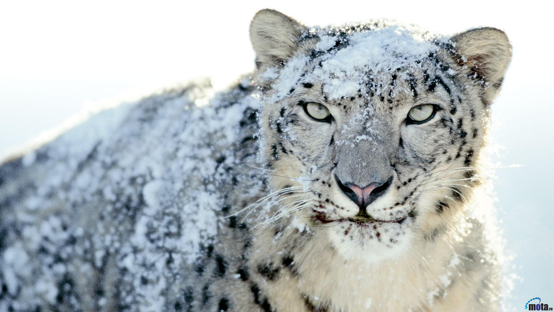 snow leopard desktop wallpaper wallpapersafari