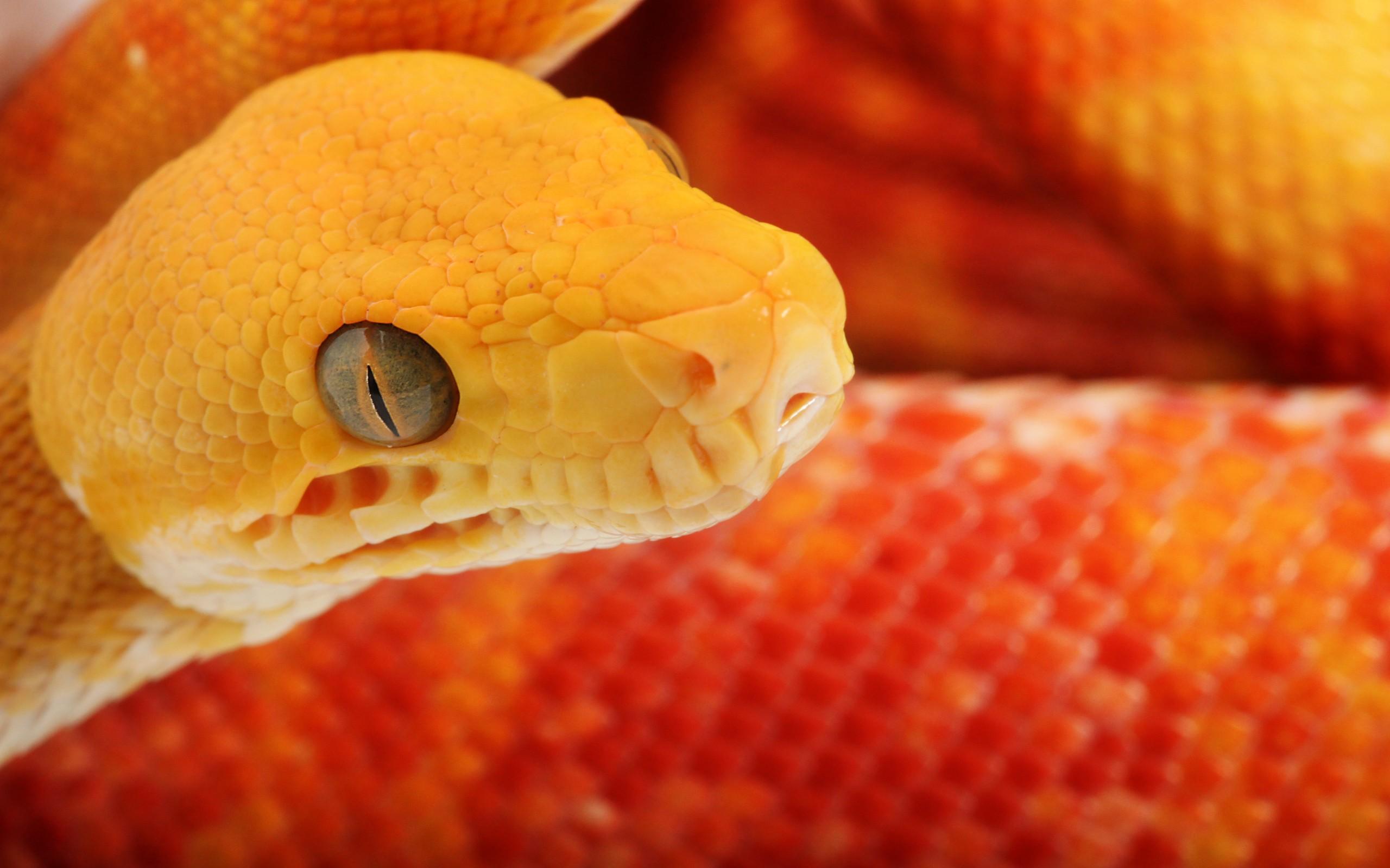 Snake Wallpapers Venomous Orange Snake HD Wallpapers Venomous 2560x1600