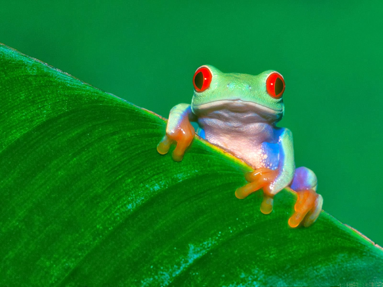 Frog wallpaper HD   beautiful desktop wallpapers 2014 1600x1200