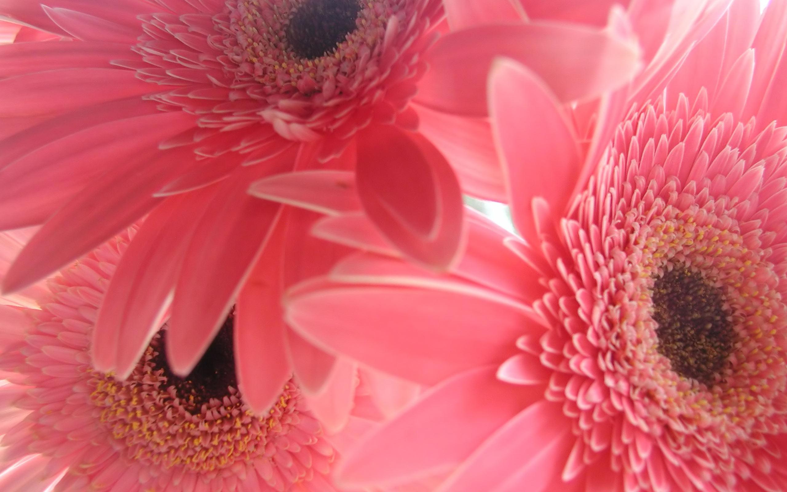 Pink Flower Backgrounds wallpaper wallpaper hd background desktop 2560x1600