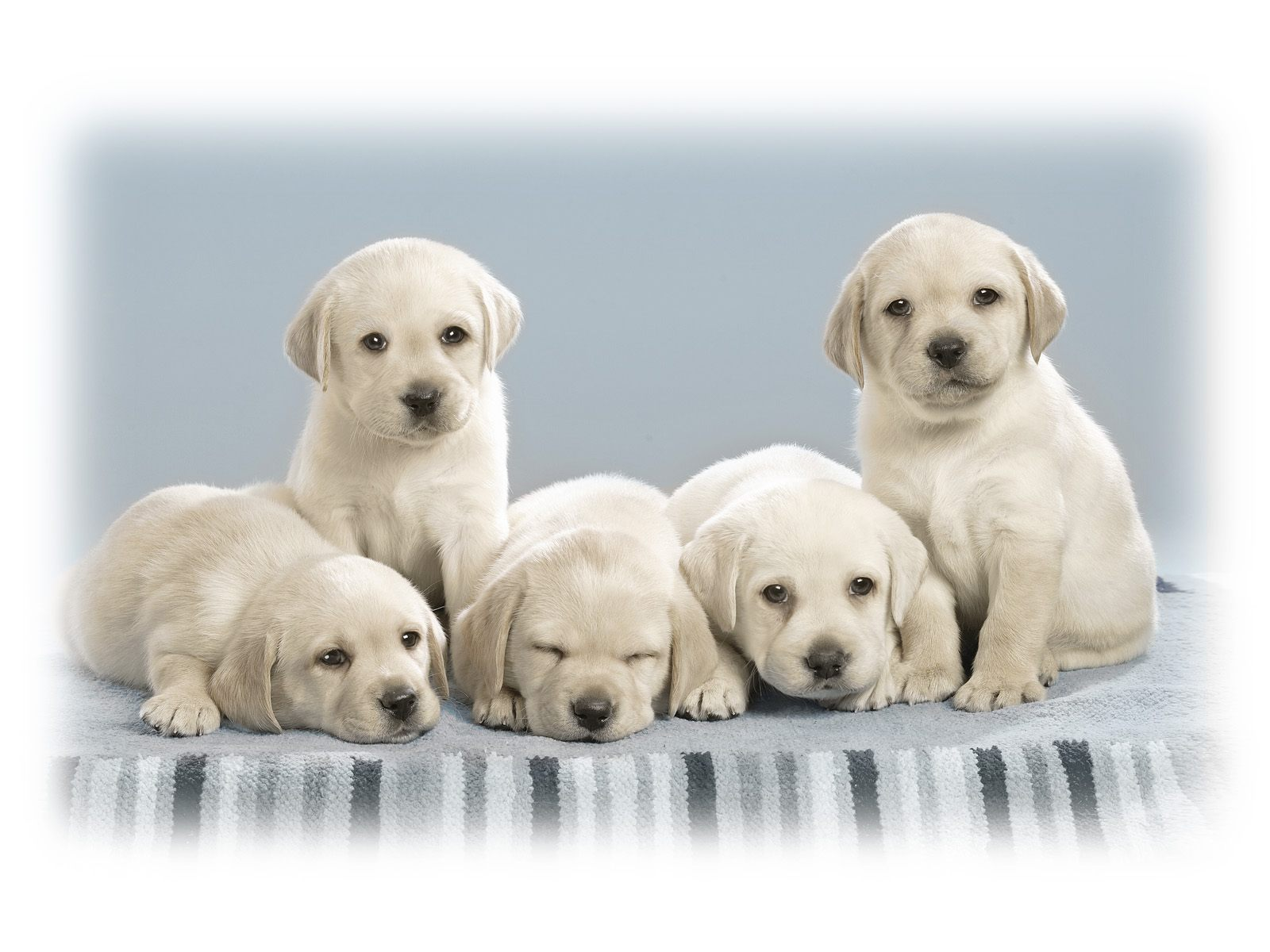 Cute Puppies Wallpapers HD Wallpapers 1600x1200