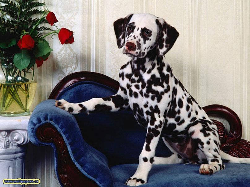Dalmatian wallpaper   ForWallpapercom 808x606