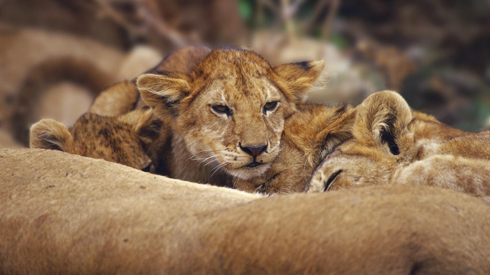 Lions Cubs Full HD Desktop Wallpapers 1080p 1600x900