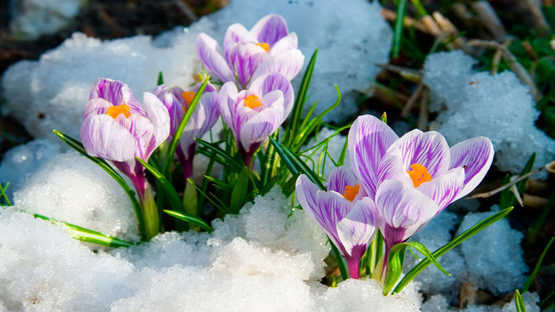 Early Spring Flowers Wallpaper - WallpaperSafari |Spring Thaw Background Computer