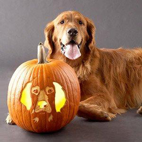 Cute Golden Retriever dog photo and wallpaper Beautiful Cute Golden 500x500
