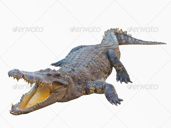 Crocodile isolated on white background with clipping path   Stock 590x442