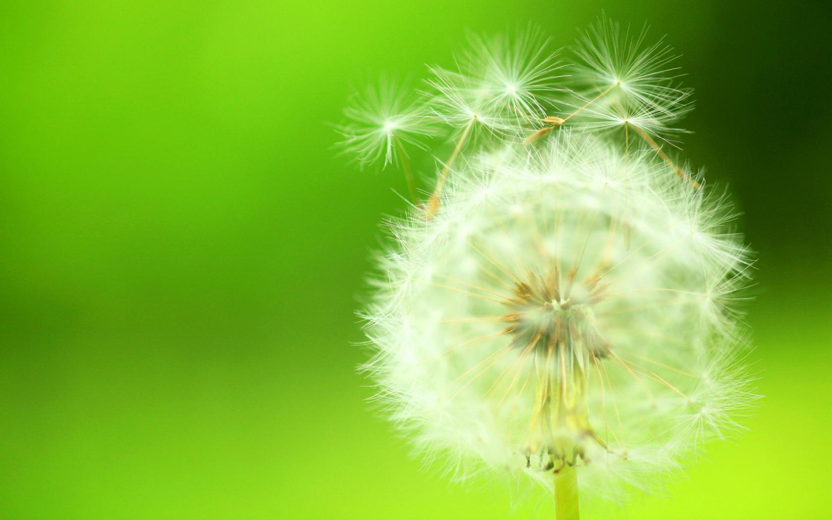 Dandelion Backgrounds 1680x1050