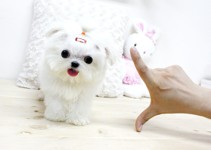 teacup puppies wallpaper wallpapersafari