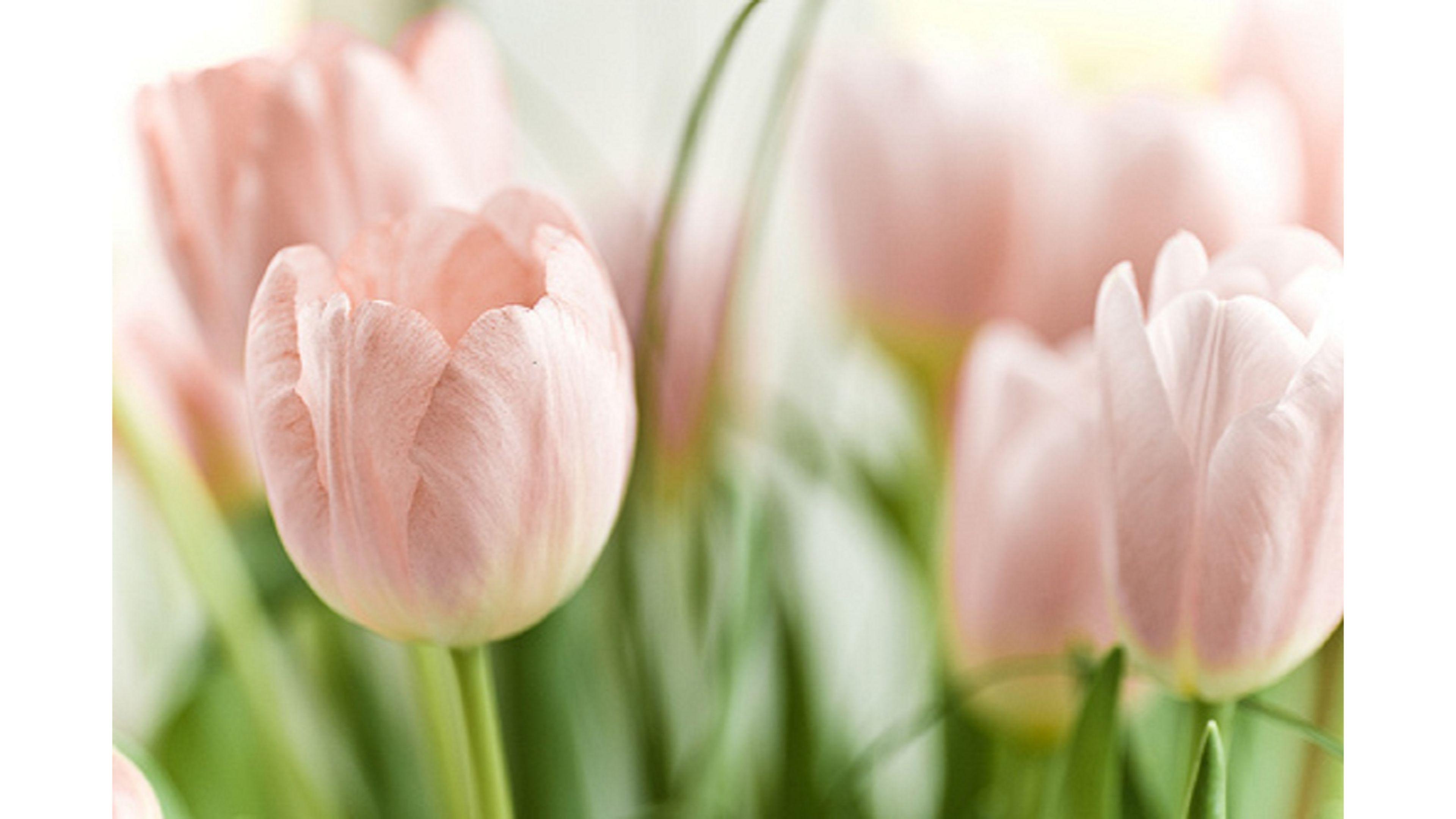 pink tulips wallpaper wallpapersafari