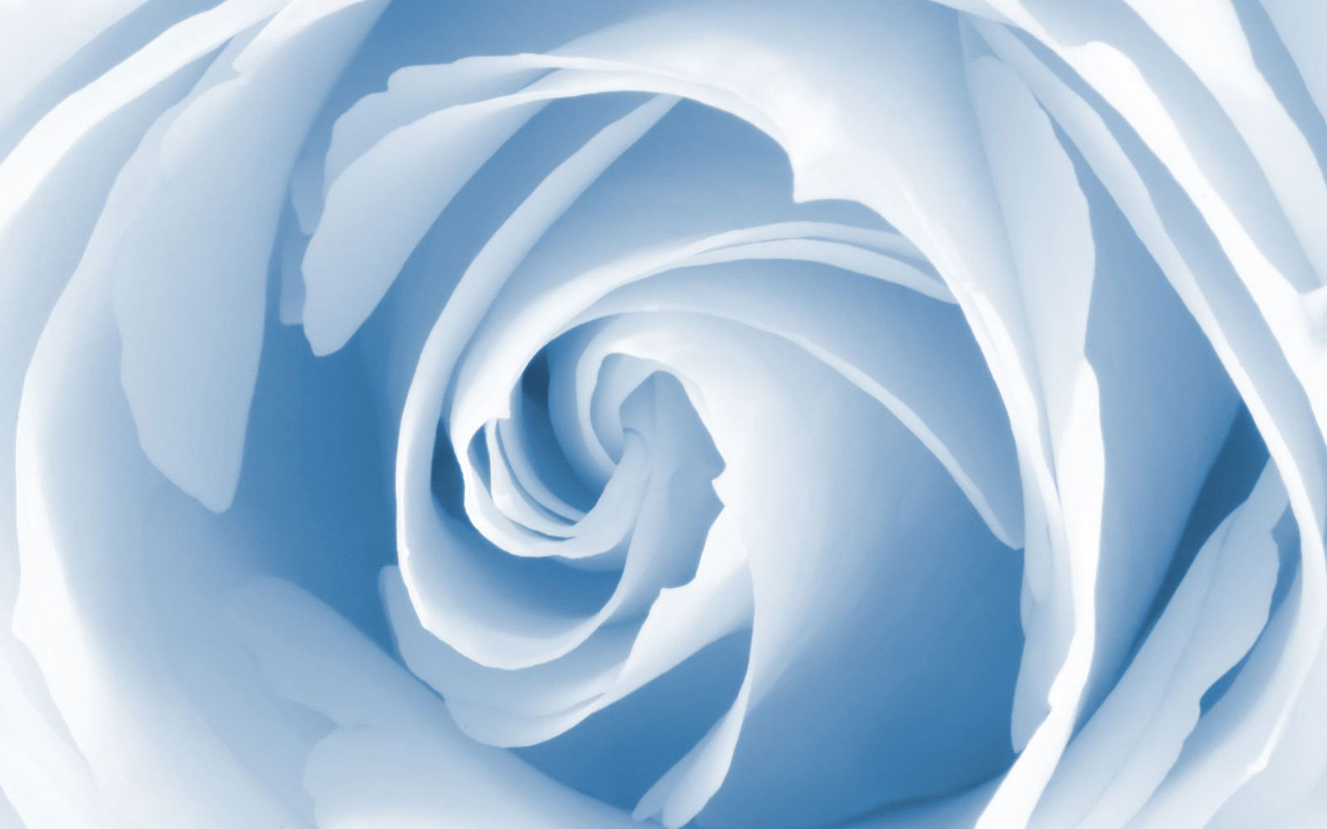 Miscellaneous Baby Blue Rose desktop wallpaper nr 58503 by maf04 1920x1200