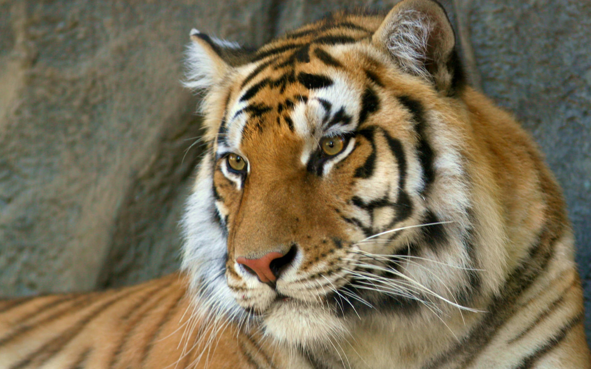 Bengal Tiger Wallpapers HD Wallpapers 1920x1200