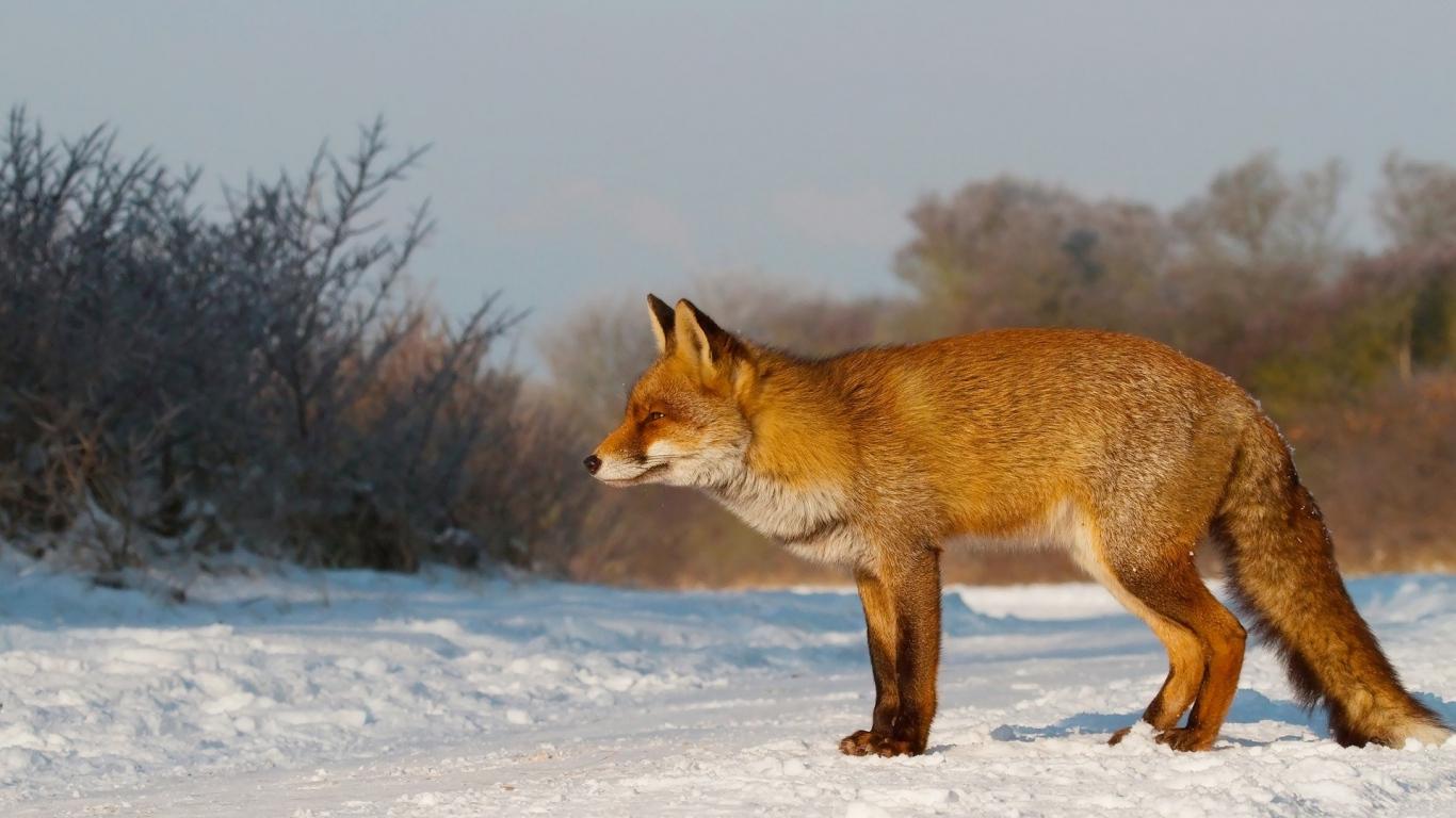 Fox Snow walk Hunting Wallpaper Background laptop 1366x768 1366x768