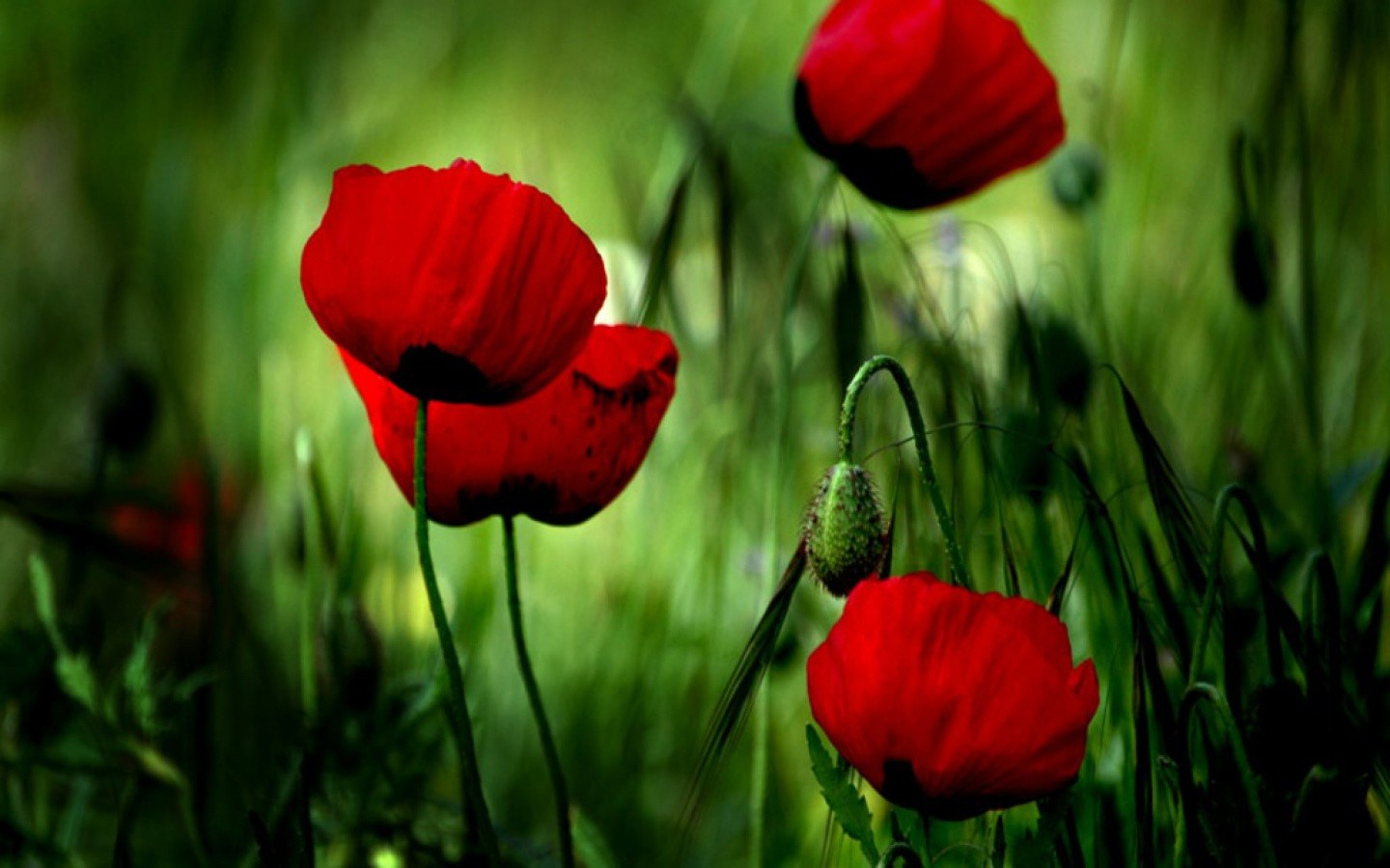 Poppy Flowers Wallpaper Pictures Wallpapersafari