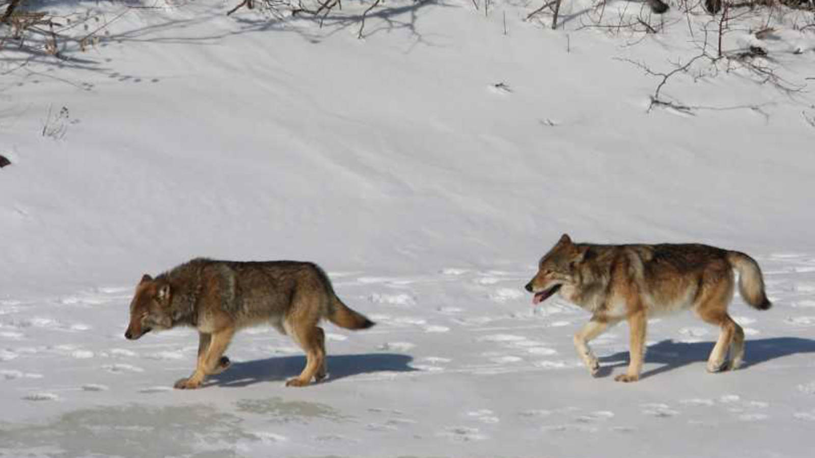 More Wolves Coming to Isle Royale National Park National Parks 1600x900