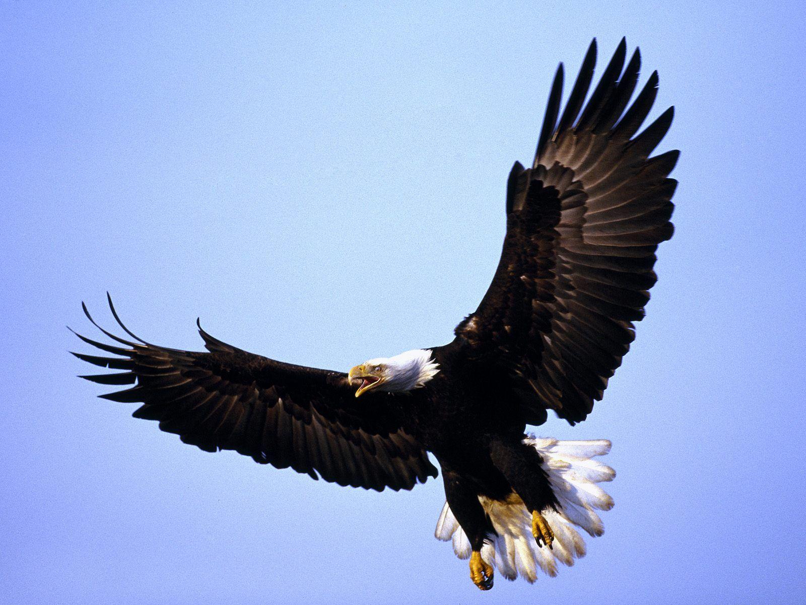 Bald Eagle 1600x1200