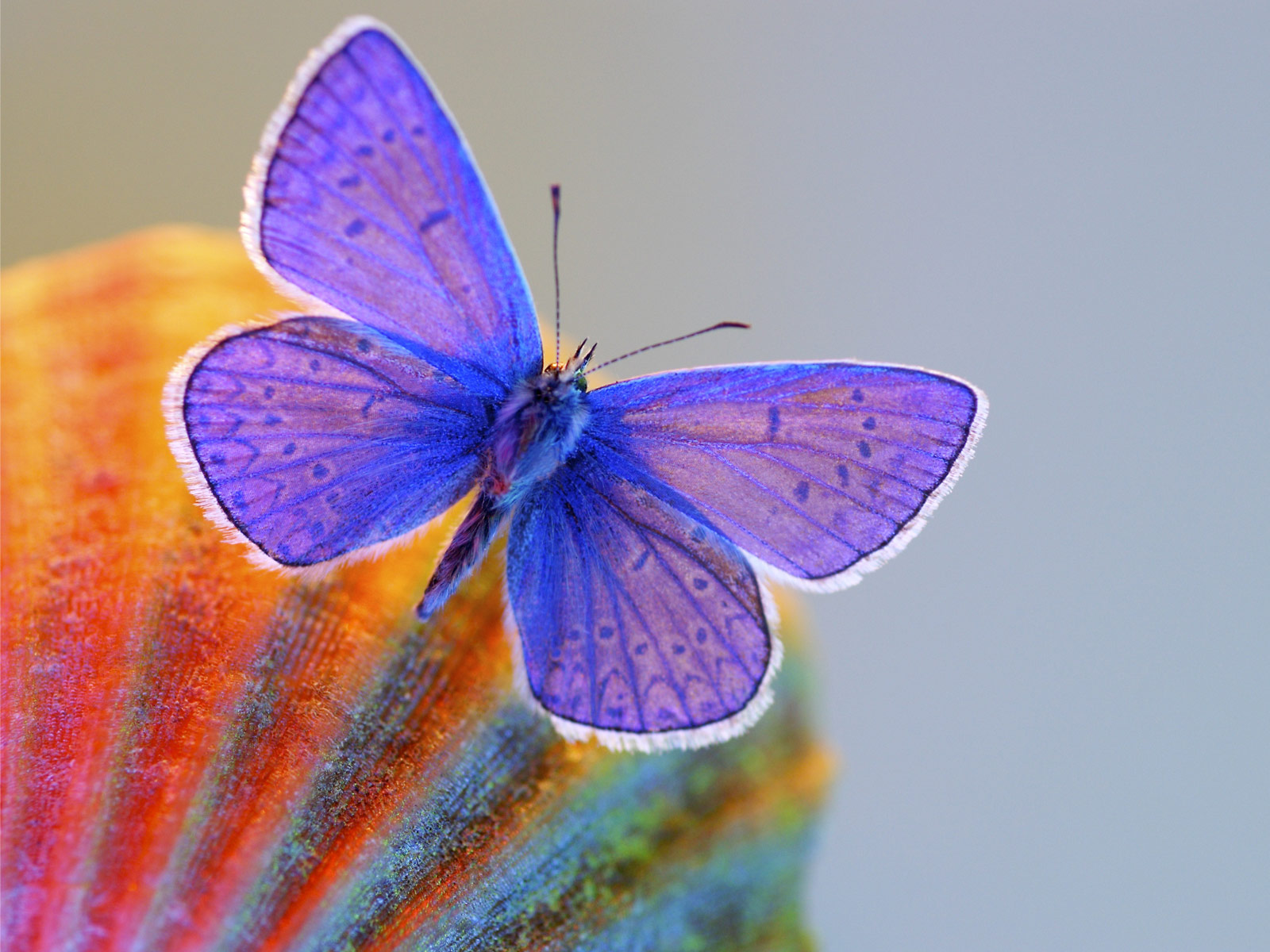 Butterfly Wallpaper HD 1600x1200 ImageBankbiz 1600x1200
