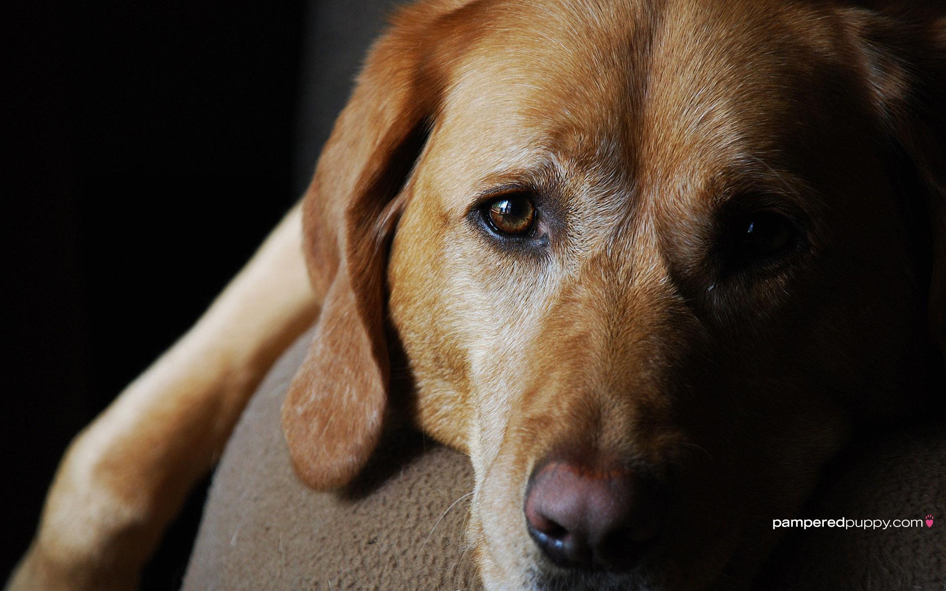 yellow labrador retriever puppies 172 for Yellow Labrador Retriever 1920x1200