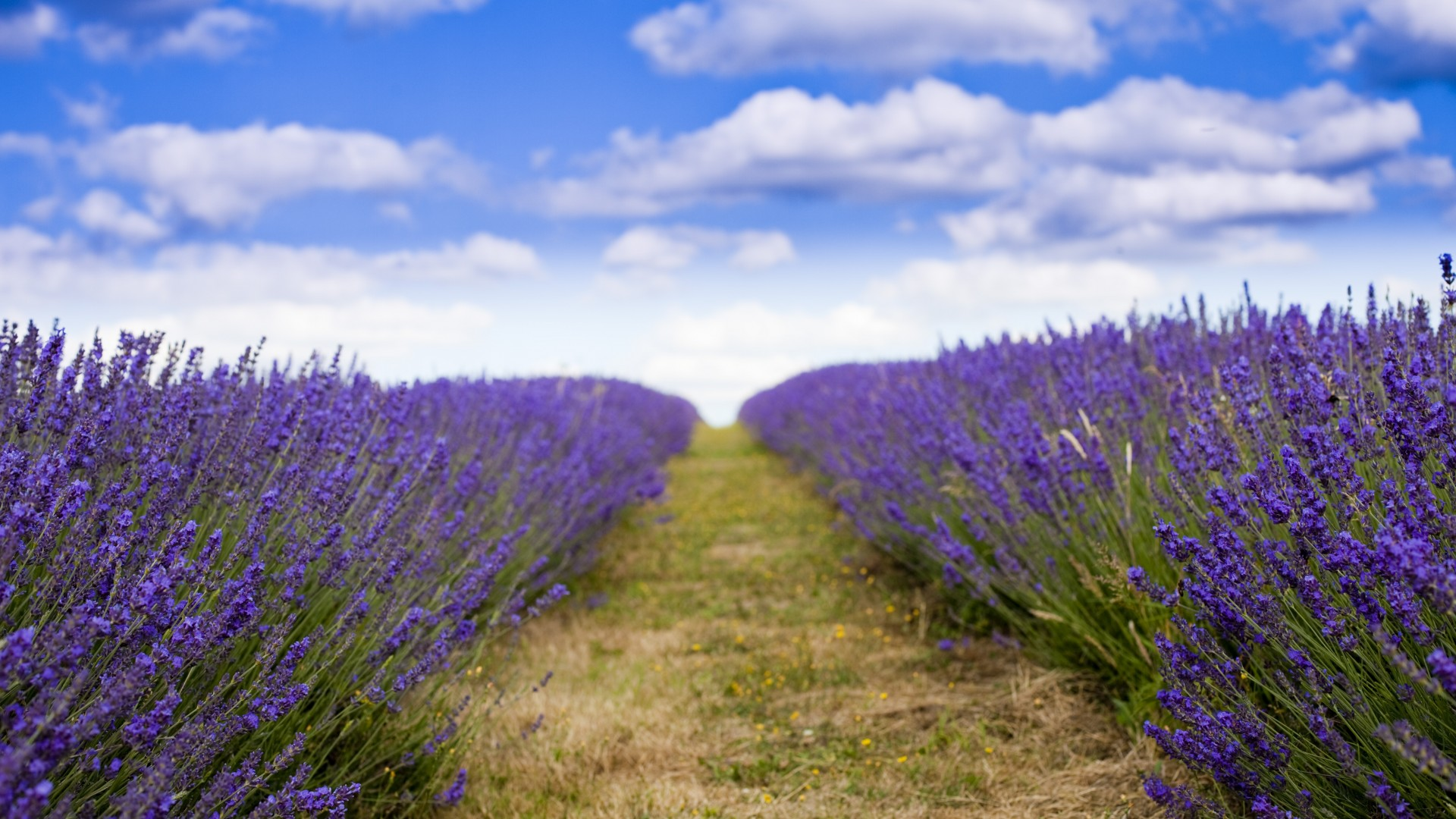Wallpaper Nature Flowers lavender field flowers sky clouds 1920x1080