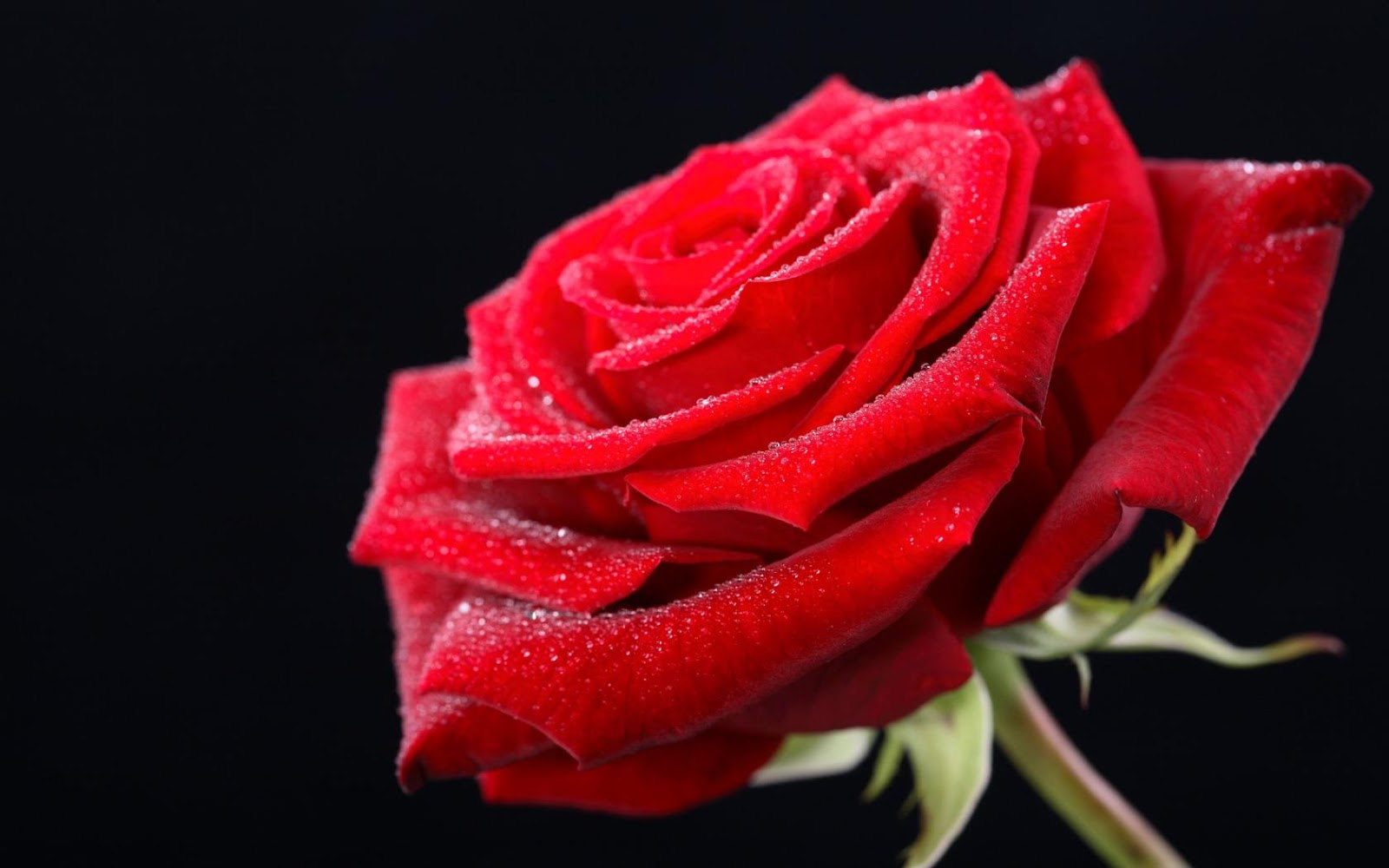 Red rose HD wallpaper as a gift on on valentines day 2016 1600x1000