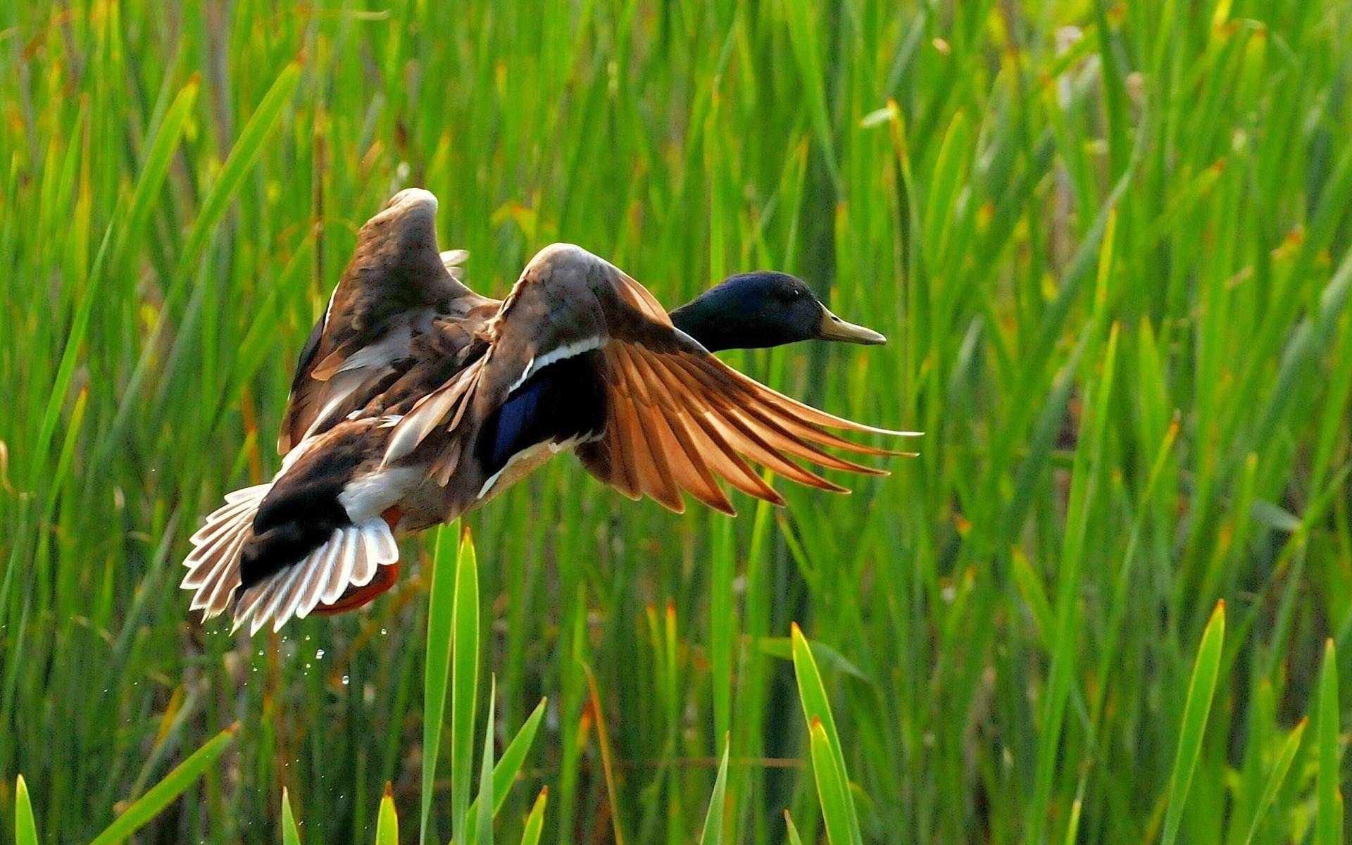Wild duck flying   Wild Nature Wallpaper 1920x1200