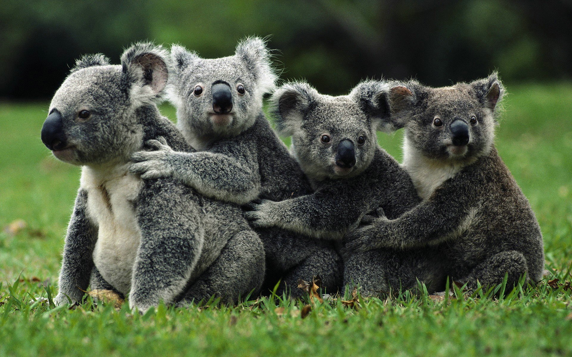 Koalas Vs Pandas IGN Boards 1920x1200
