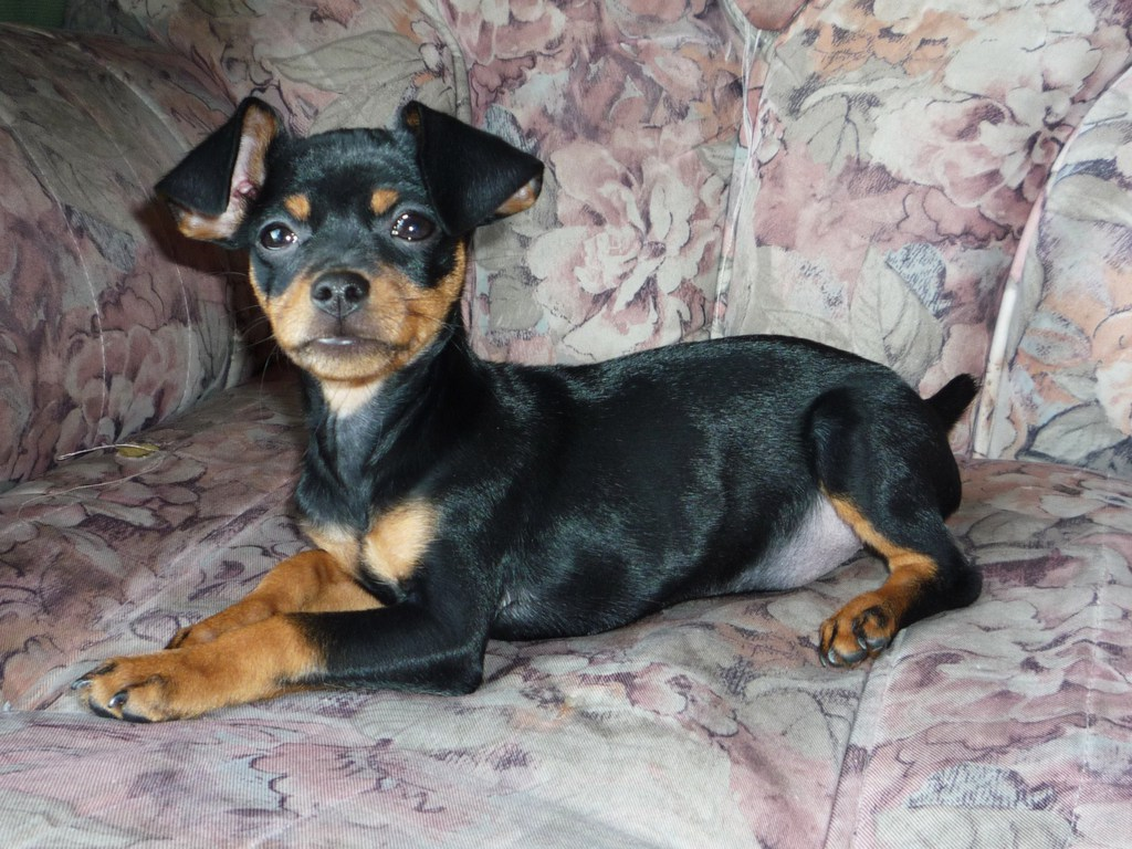 Pinscher puppy photo and wallpaper Beautiful Doberman Pinscher 1024x768