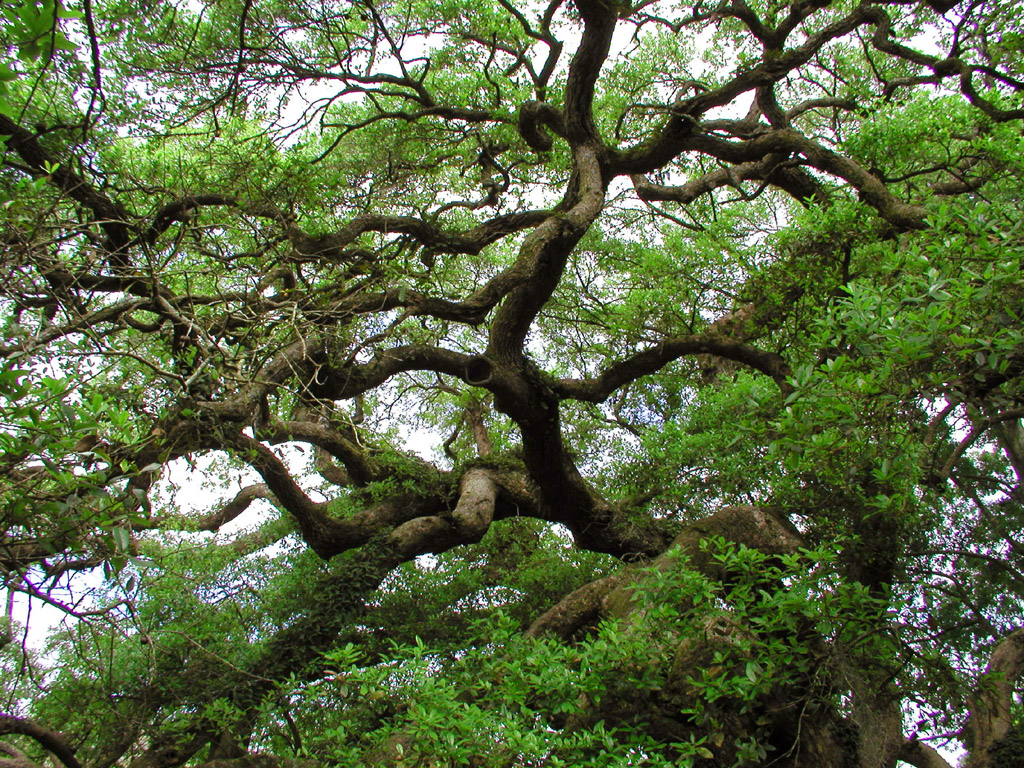 Live Oak Wallpaper by nonweasel on deviantART 1024x768