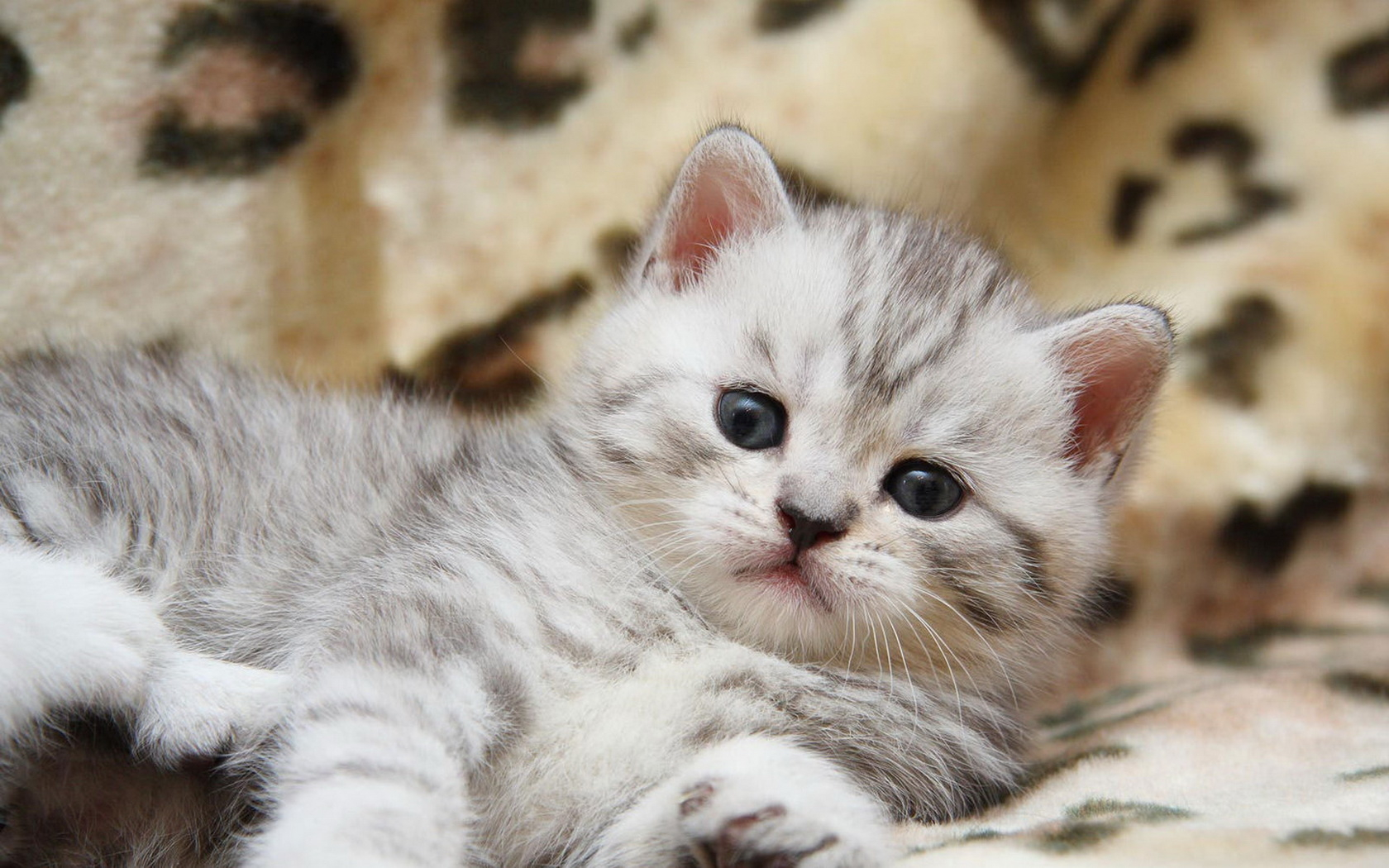Download Fluffy Kitten Wallpapers And Images Wallpapers Pictures