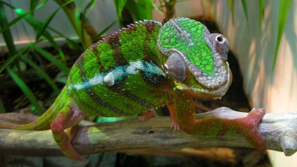 Amphibians a chameleon wallpaper 945x531